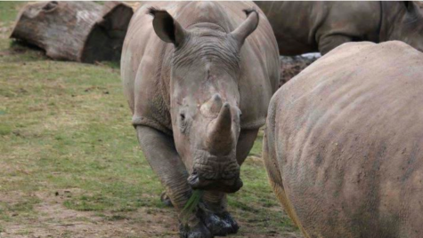 Poachers Killed Rhino for Horns in France