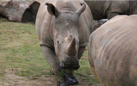 Poachers Killed Rhino for Horns in France