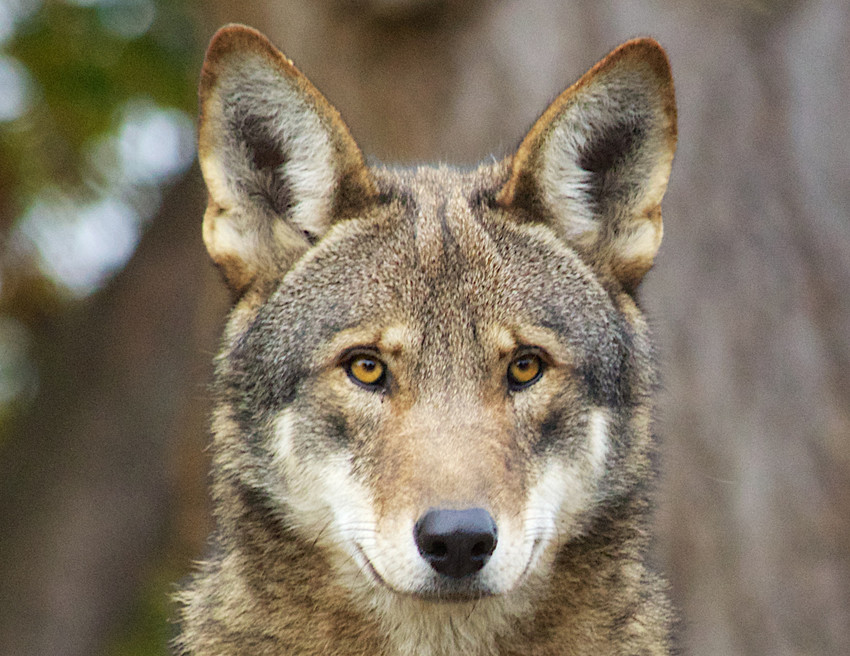 The Red Wolves Are Endangered