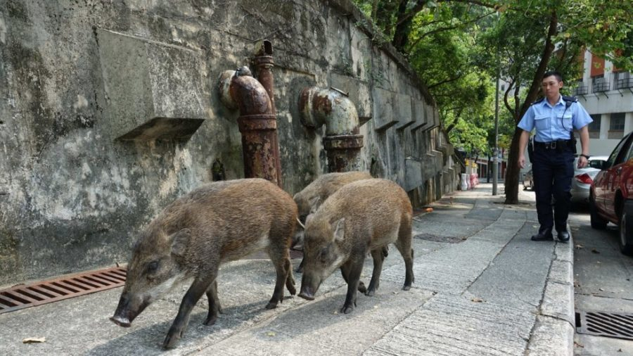 Hong Kong's Wild Boar Crisis